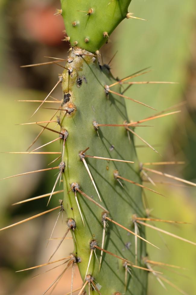 Close-Up of a Few Cactus Thorns