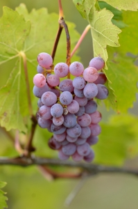 Violet Ripe Grapes on Green Vine