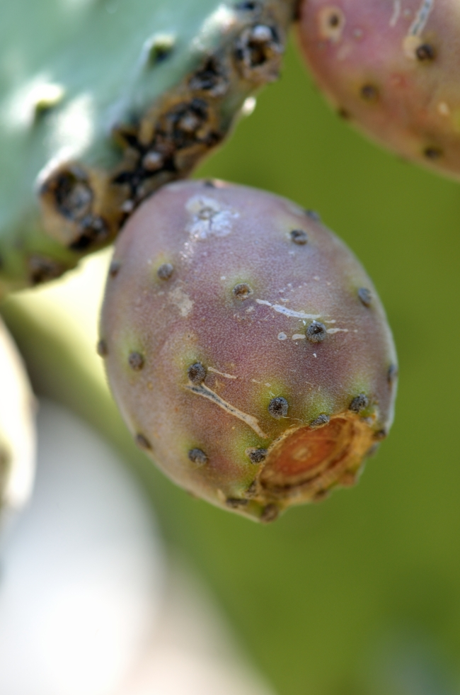 Colorful Prickly Pear in Close Focus