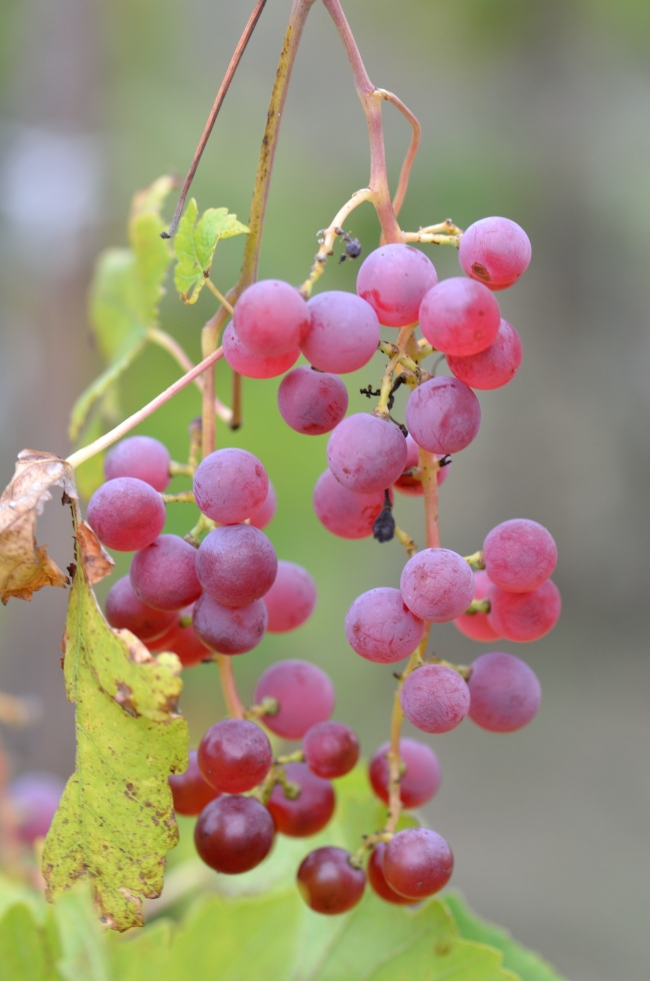 Vine with Red Grapes and Leaves