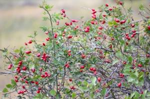 Ripe Rose Hips on Green Bush
