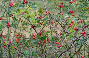 Large Bush with Rose Hips