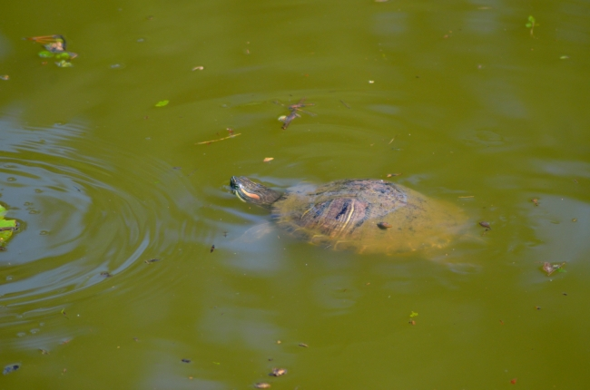 Tortoise Looking for Food in a Lake
