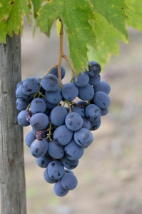 Close-Up of Ripe Violet Grapes in the Autumn