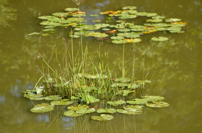 Water Vegetation Emerging from Water Lily Leaves