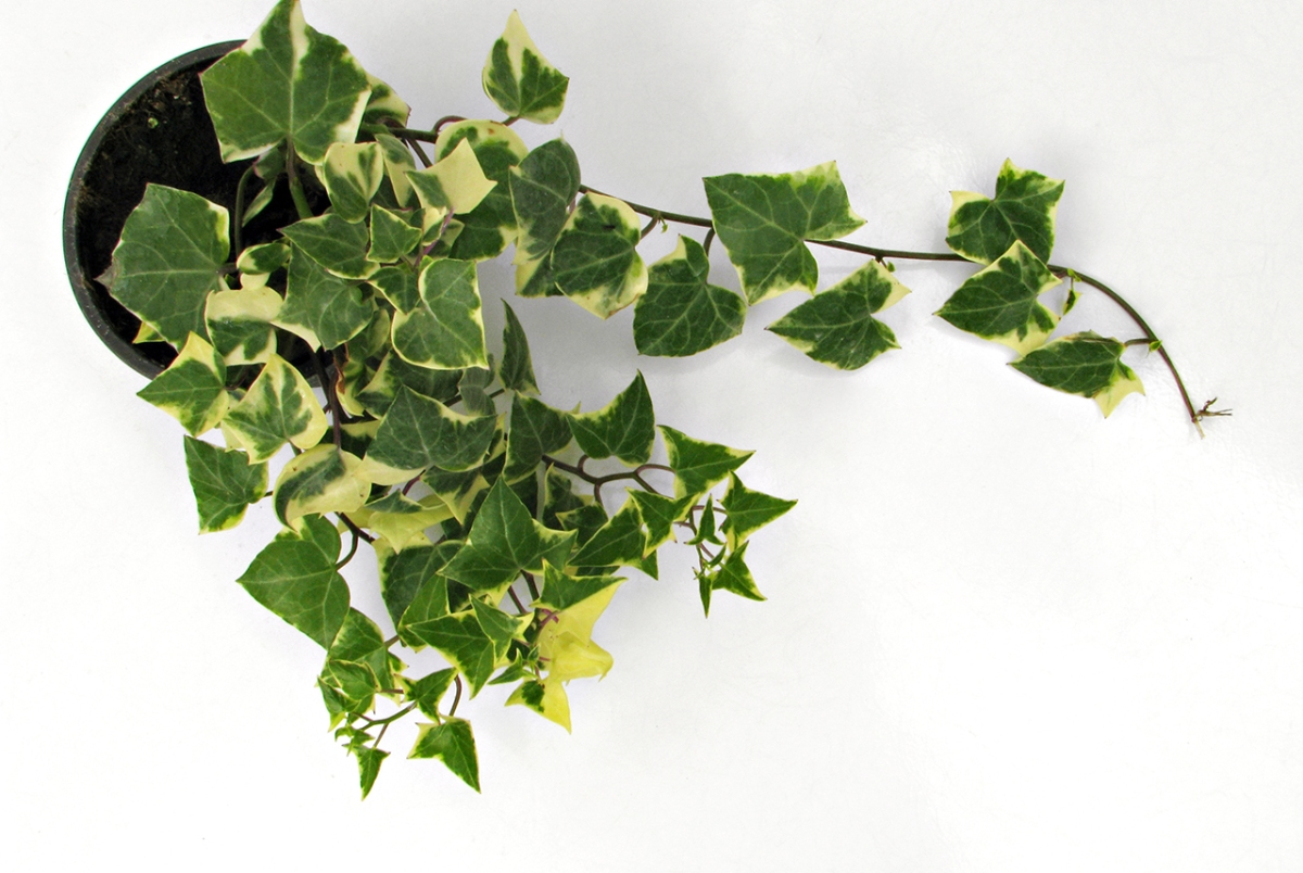 Plant With Green And Yellow Leaves Gimmeges