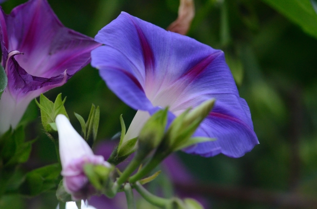 Blue Petunia Buds with White Spots