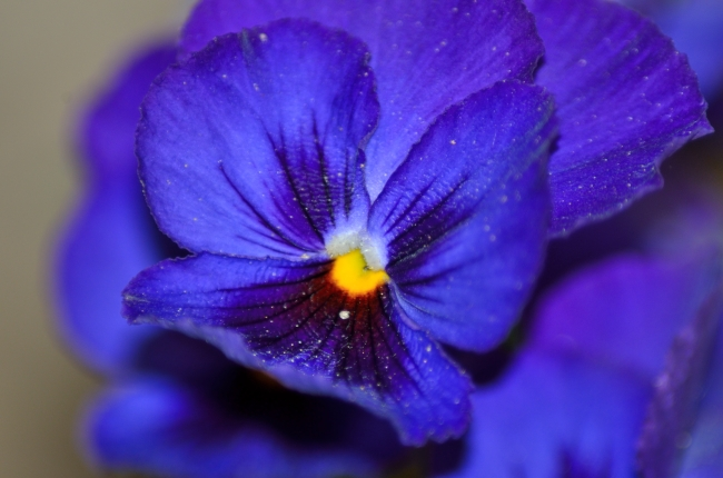 Blue Pansy with Yellow in the Middle - Close-Up