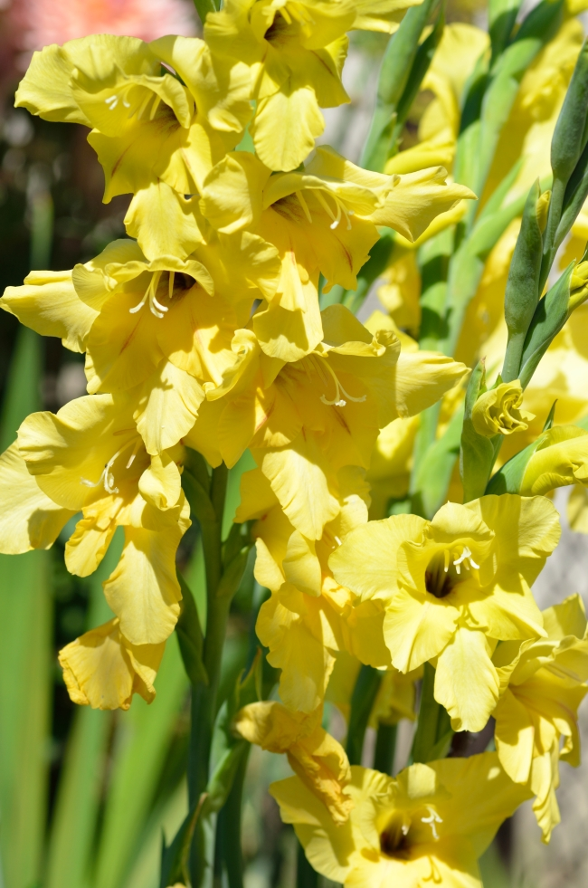 Bunch of Yellow Gladiolus in Summer