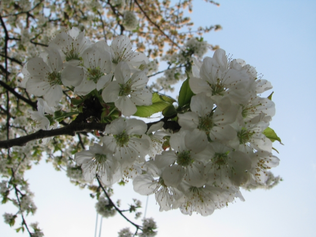 White Petals of Cherry Blossom