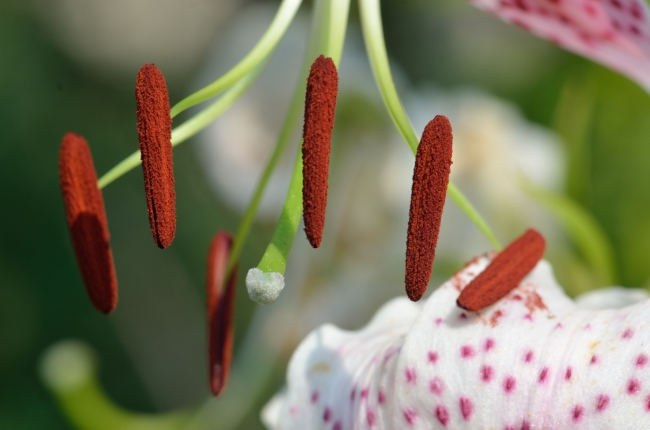 Chinese Lily with Colorful Stamens