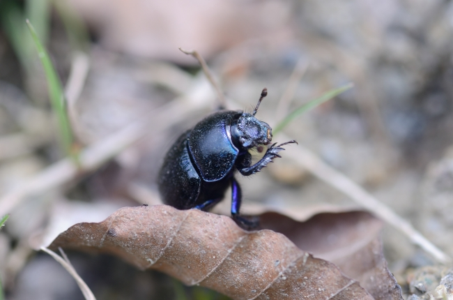 Blue and Black Bug on a Leaf - Close-Up