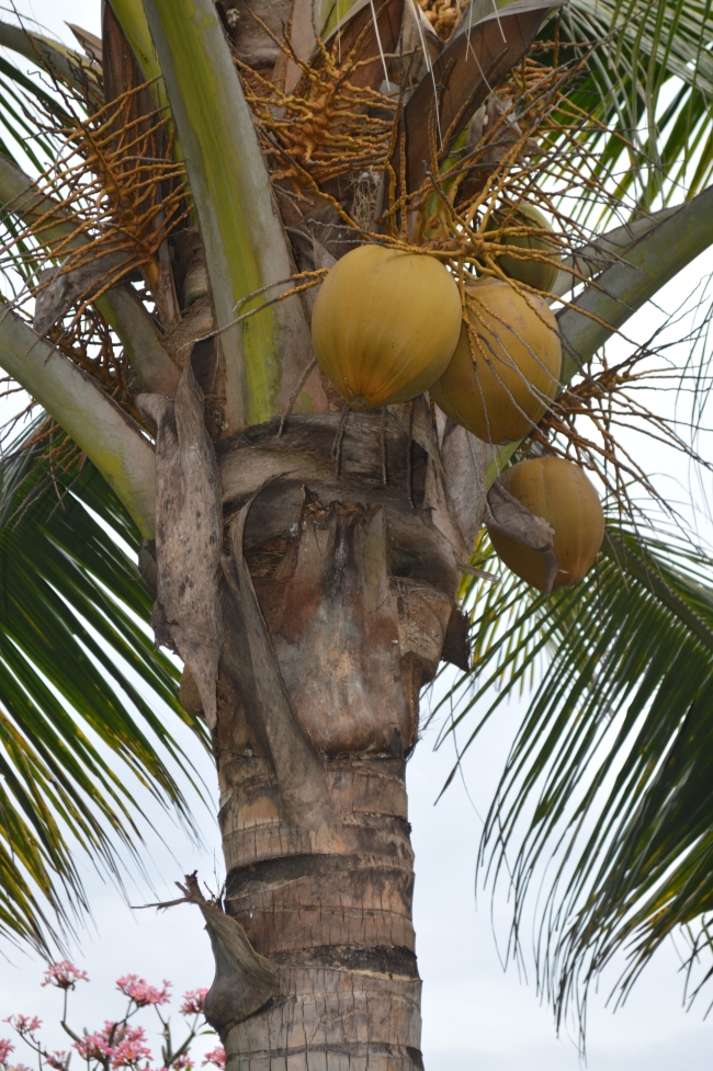 Coconut Tree with Many Coconuts