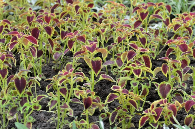 Burgundy Plants Grown in the Ground