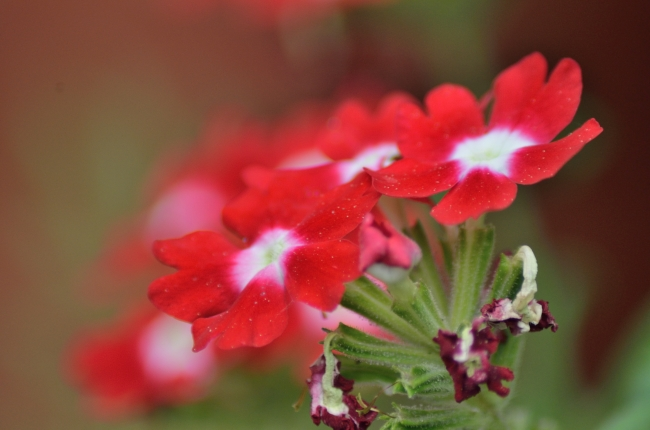 Red Verbena Flowers Sprinkled with Morning Dew