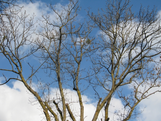 Bare Tree with Mistletoe on Branch