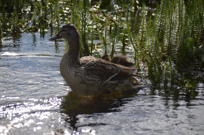Lake Vegetation, Duck, Duckling, and the Reflection of the Sun
