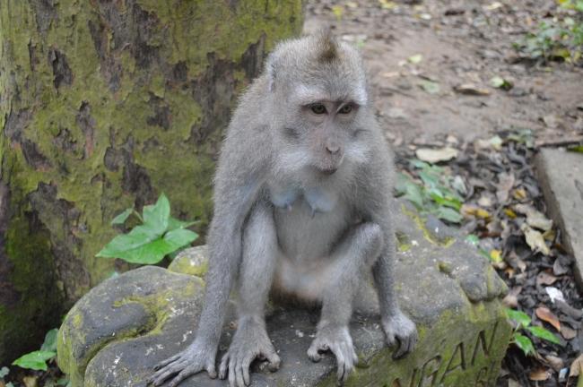 Grey Female Monkey Seating on a Rock