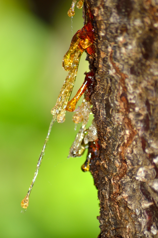 Resin Falling from a Tree - Close-Up