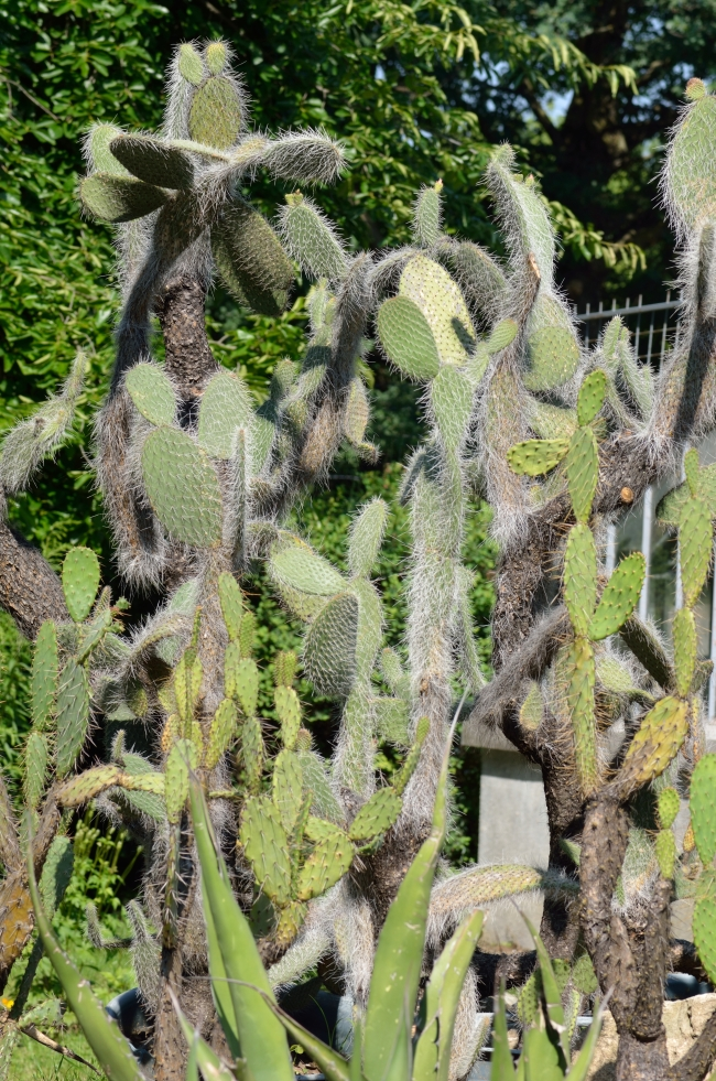 Large Tall Cactuses Grouped Together in Complex Structure