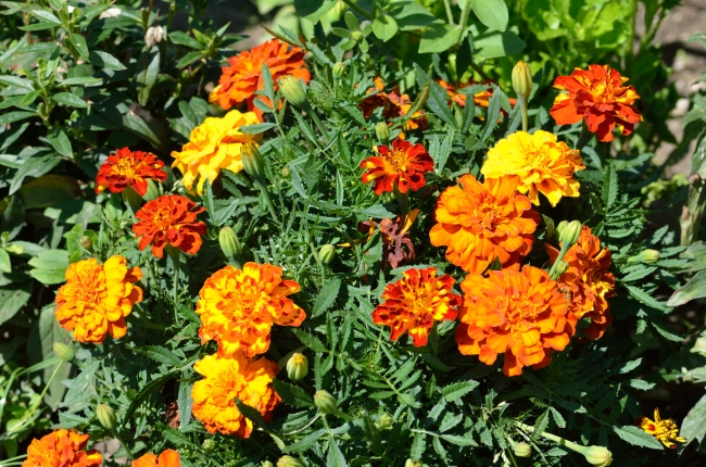 Marigold Flowers in Bloom