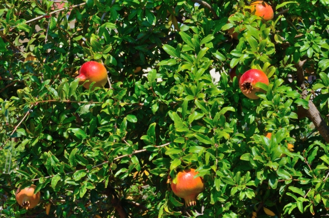 Ripe Pomegranates in the Sunlight in the Early Autumn