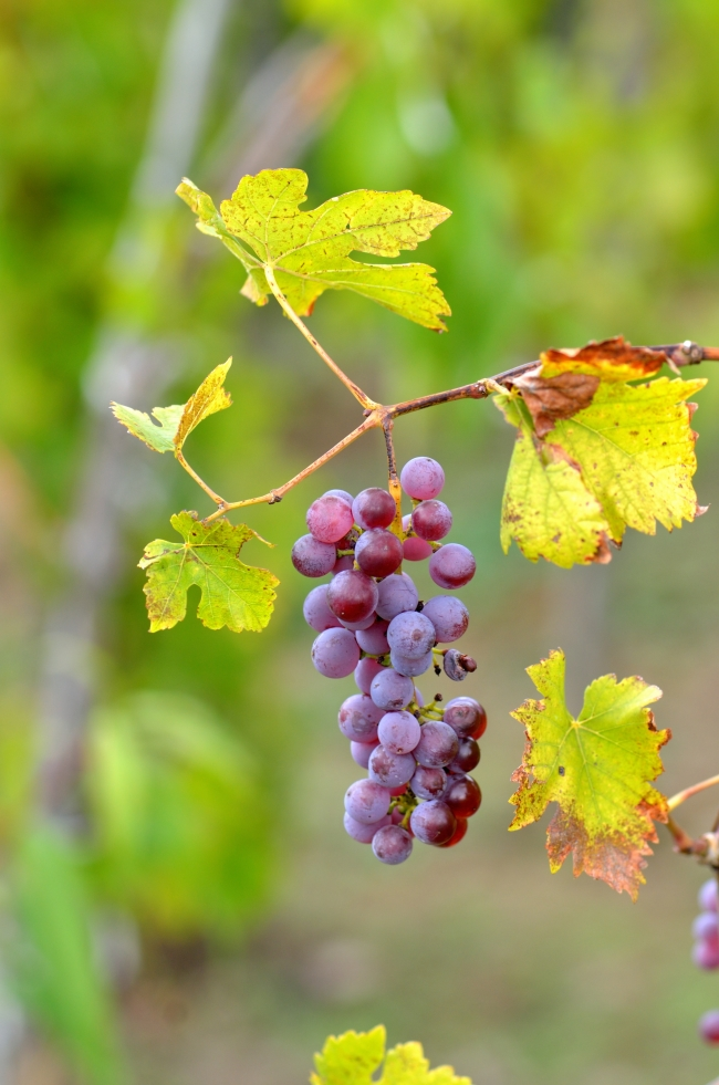 Violet Ripe Bunch of Natural Grapes on Vine