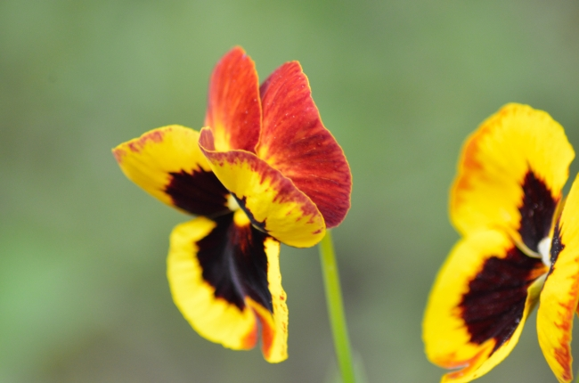 Pansies with Yellow and Dark Brown Petals