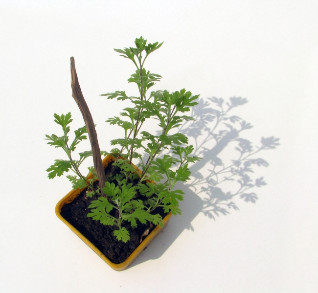 Parsley in a Pot on White Background