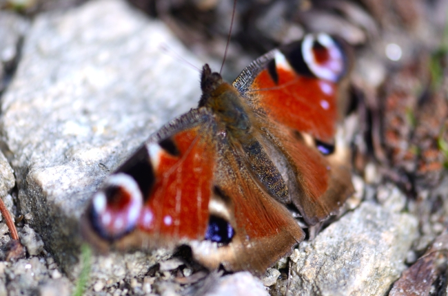 Peacock Butterfly on a Grey Rock