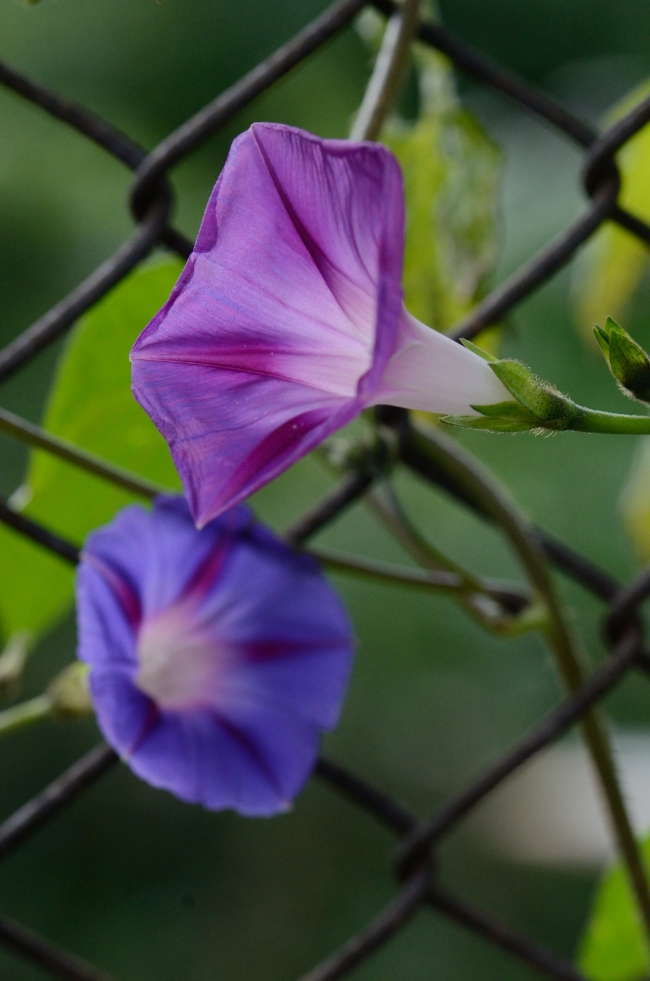 Petunias Hanging on Wire Fence