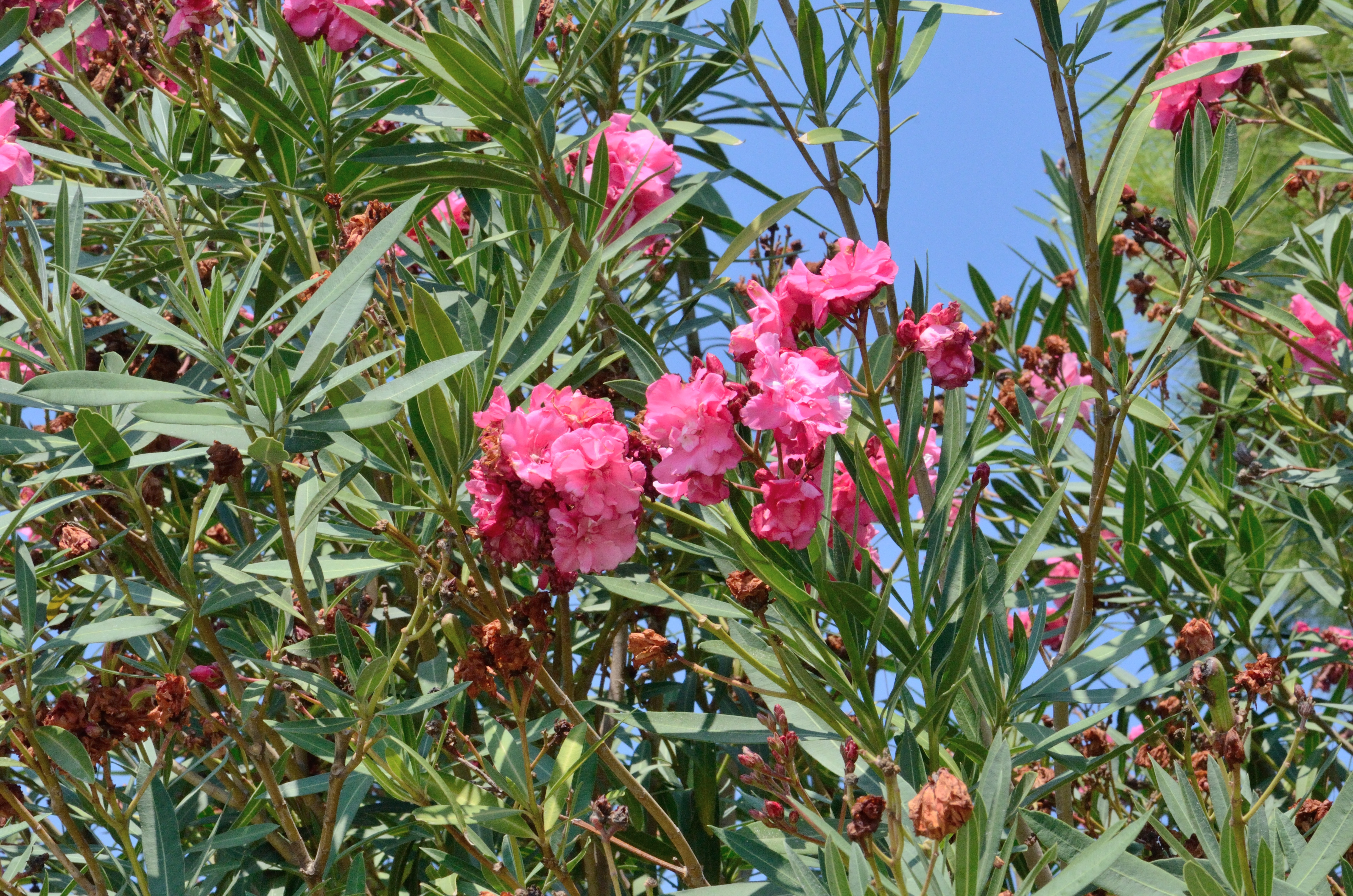 Pink Flowers In A Tree With Blue Sky In The Background Gimmeges