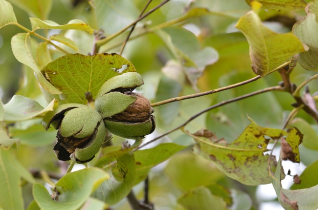 Green Branch with Ripe Walnuts