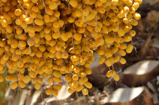 Ripe Palm Fruits - Close-Up