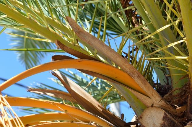 Yellow Palm Tree Close-Up