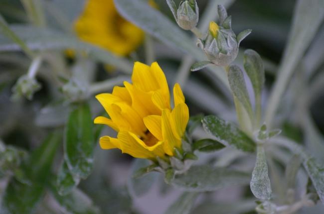 Delicate Dusty Yellow Gazanias