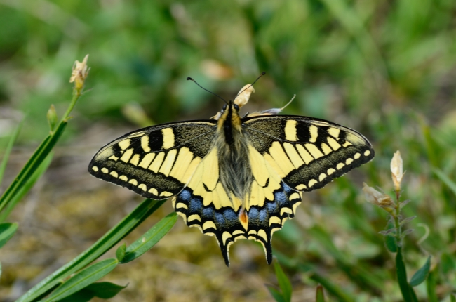 Perfect Swallowtail Butterfly on Grass