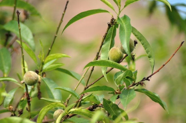 Branches with Green Fruits
