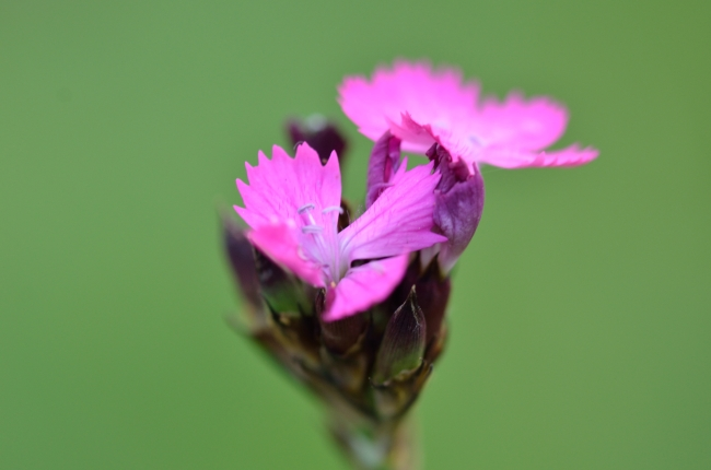 Small Pink Flower on Green Background