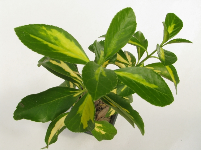 Leafy Houseplant in Pot