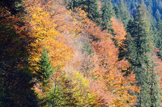 Coniferous Trees in Autumn