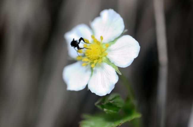 White Fraise des Bois Flower on Gray Background