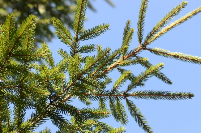 Fir-Tree Branches against Blue Sky