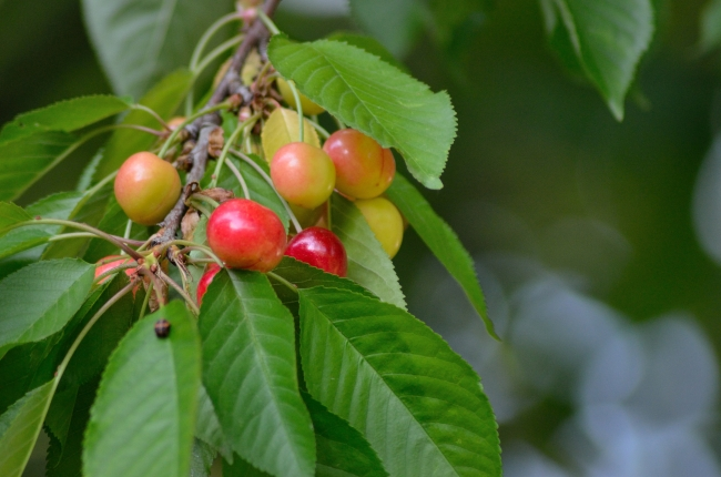 Colored Cherries on Branches