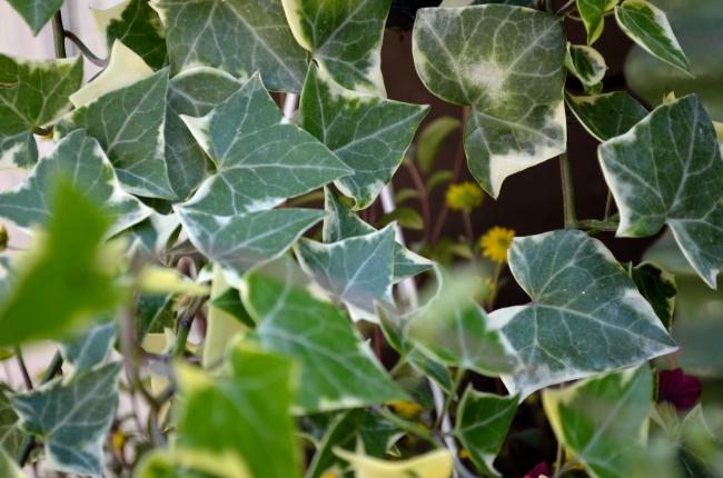 Ivy Close-Up