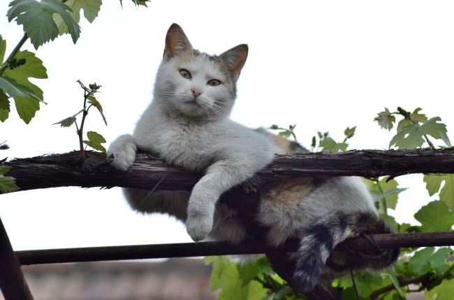 Cat on a Vine's Branch