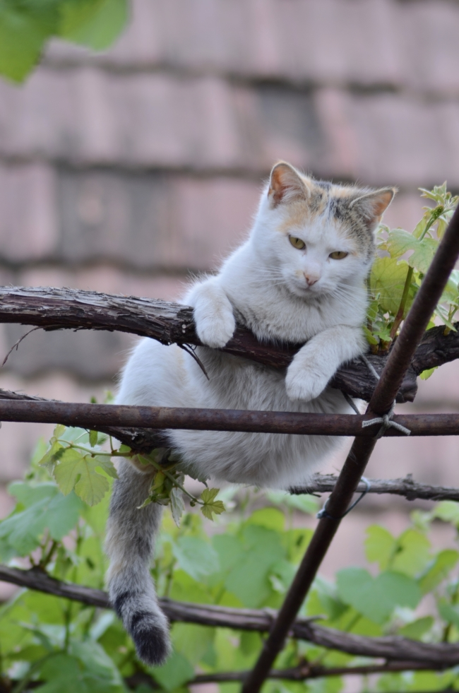 White Cat up on Vine