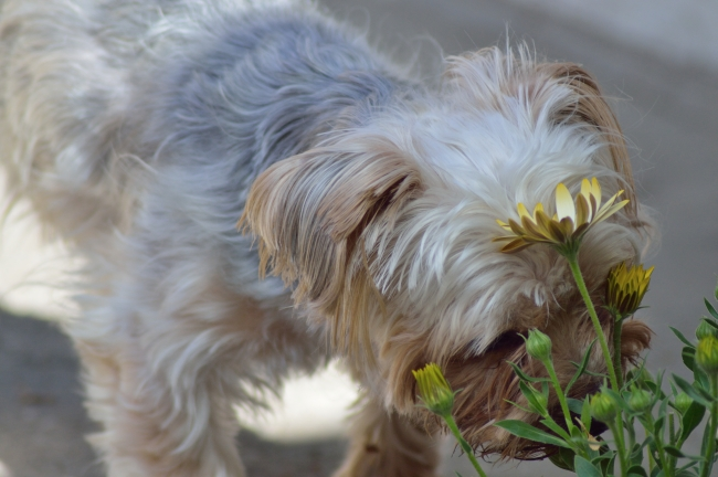 Puppy with White Fur and Brown Ears Smelling Flowers