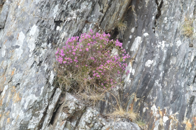 Delicate Pink Flowers Growing on a Rock