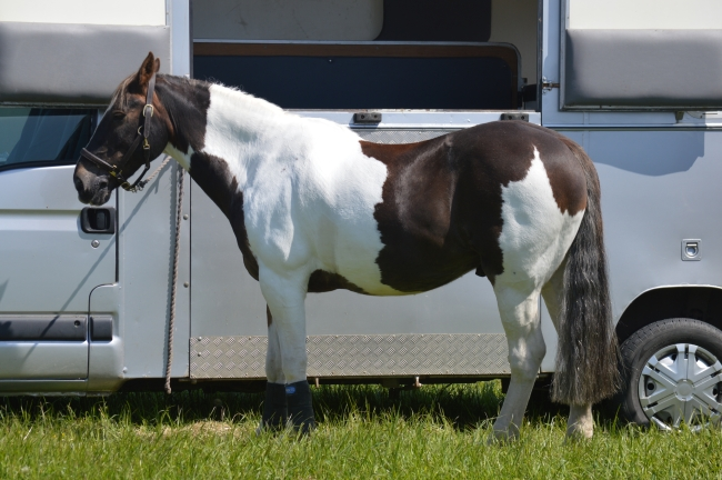 White Horse with Brown Spots near Trailer